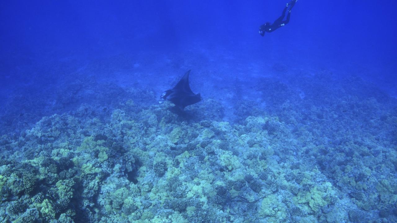 코나 남쪽 해안에서 다이빙하여 쥐가오리와 함께 수영하기
