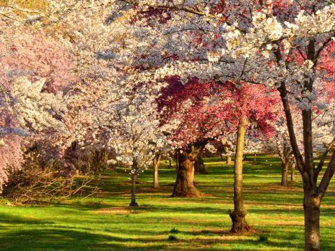 벚꽃 축제가 한창인 브랜치 브룩 공원에 만개한 꽃