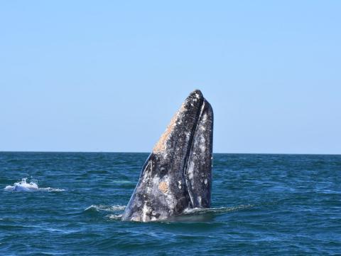 캘리포니아주 옥스나드 인근 연안에서 발견된 고래